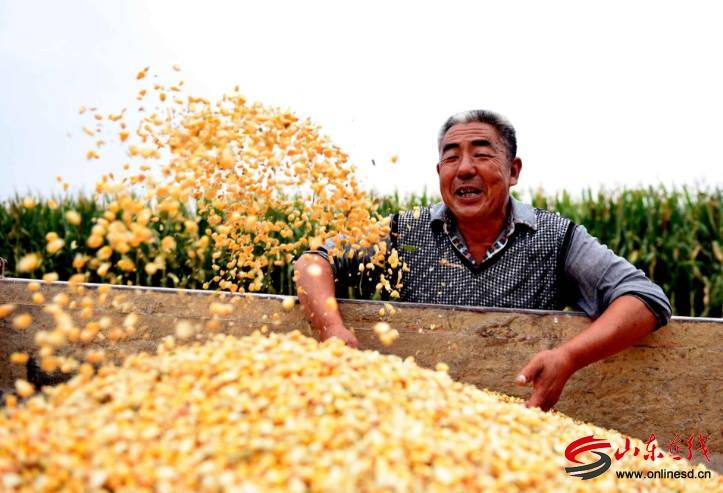 """山东郯城30万亩""""麦茬玉米""""喜丰收"""