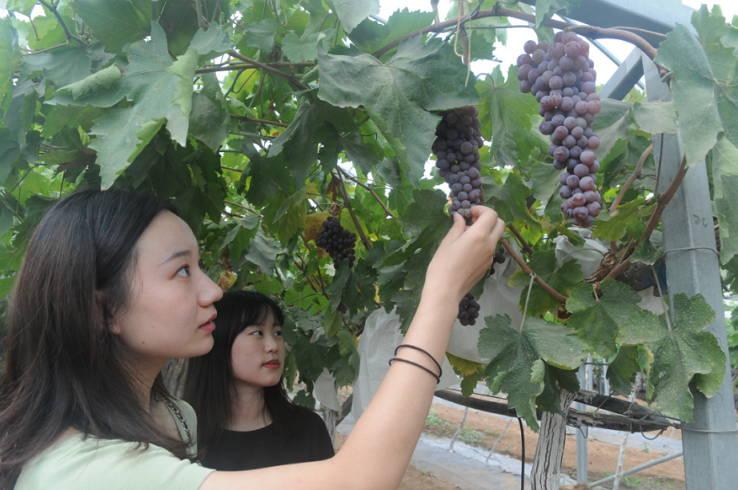 山东淄川:天然富硒葡萄上市  助农脱贫增收