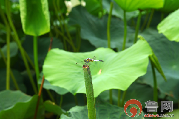 菏泽赵王河湿地公园里的荷花盛开了