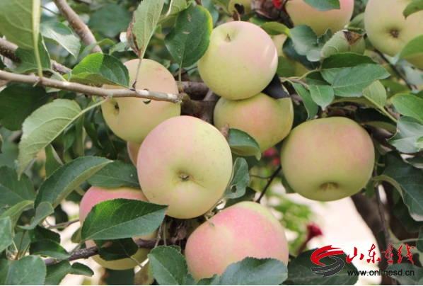 郯城:花园乡涝沟社区百亩苹果园香飘四方
