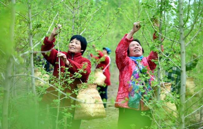 山东郯城:银杏红茶清香上市