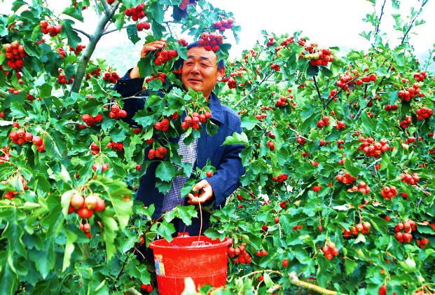 曲阜吴村镇:特色农业搭舞台  生态经济唱大戏