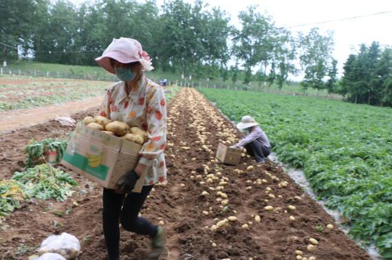 郯城县高峰头镇1500亩富硒黄瓤土豆大面积上市