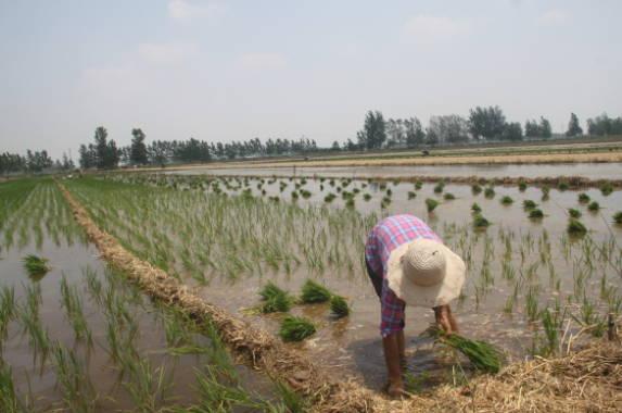 郯城县杨集镇:水稻插秧进度快