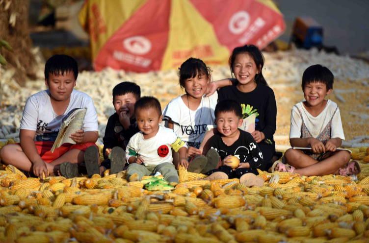 山东郯城40万亩玉米喜丰收