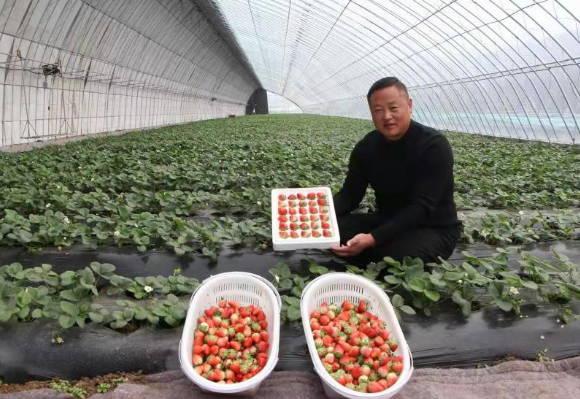 郯城县花园镇:草莓园里春意闹