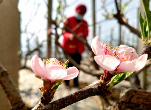 郯城:节前腊月忙农事  棚内桃花早迎春