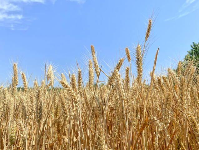 麦浪滚滚 满目金黄--曲阜市息陬镇天气晴好麦收忙
