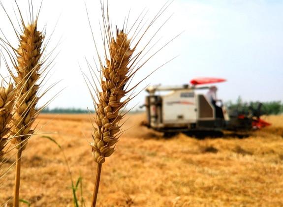 郯城:小麦大丰收 农机忙不停