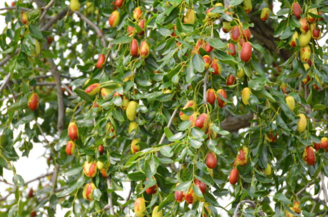 蜜枣压枝头 欢声笑语庆丰收
