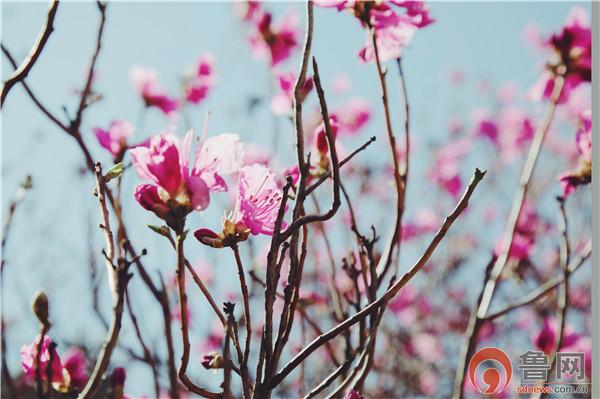 青岛大珠山最火的赏花攻略