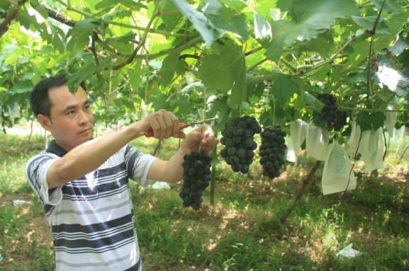 曲阜市尼山镇天地人葡萄生态园里葡萄丰收人气旺