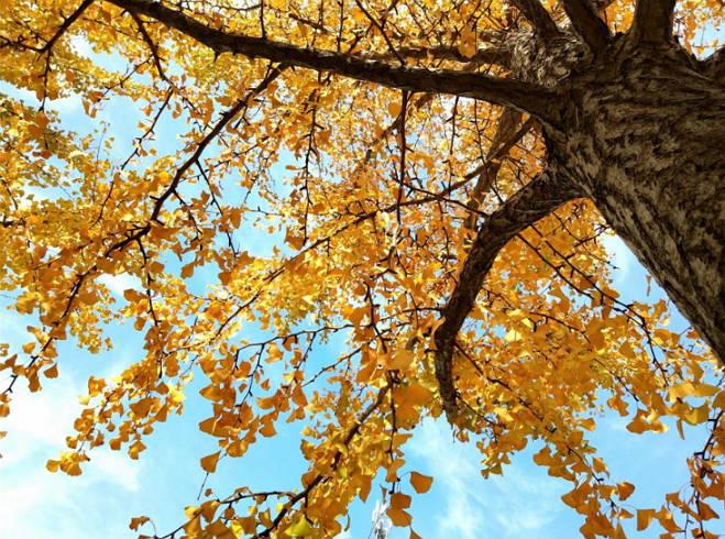 郯城:银杏叶黄了 美景遍街头
