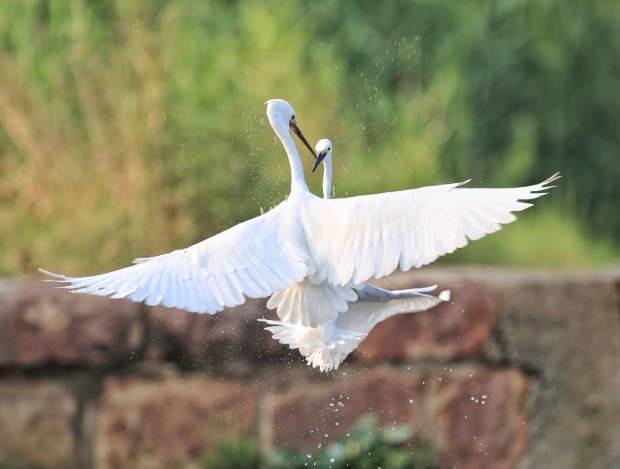生态美 白鹭飞